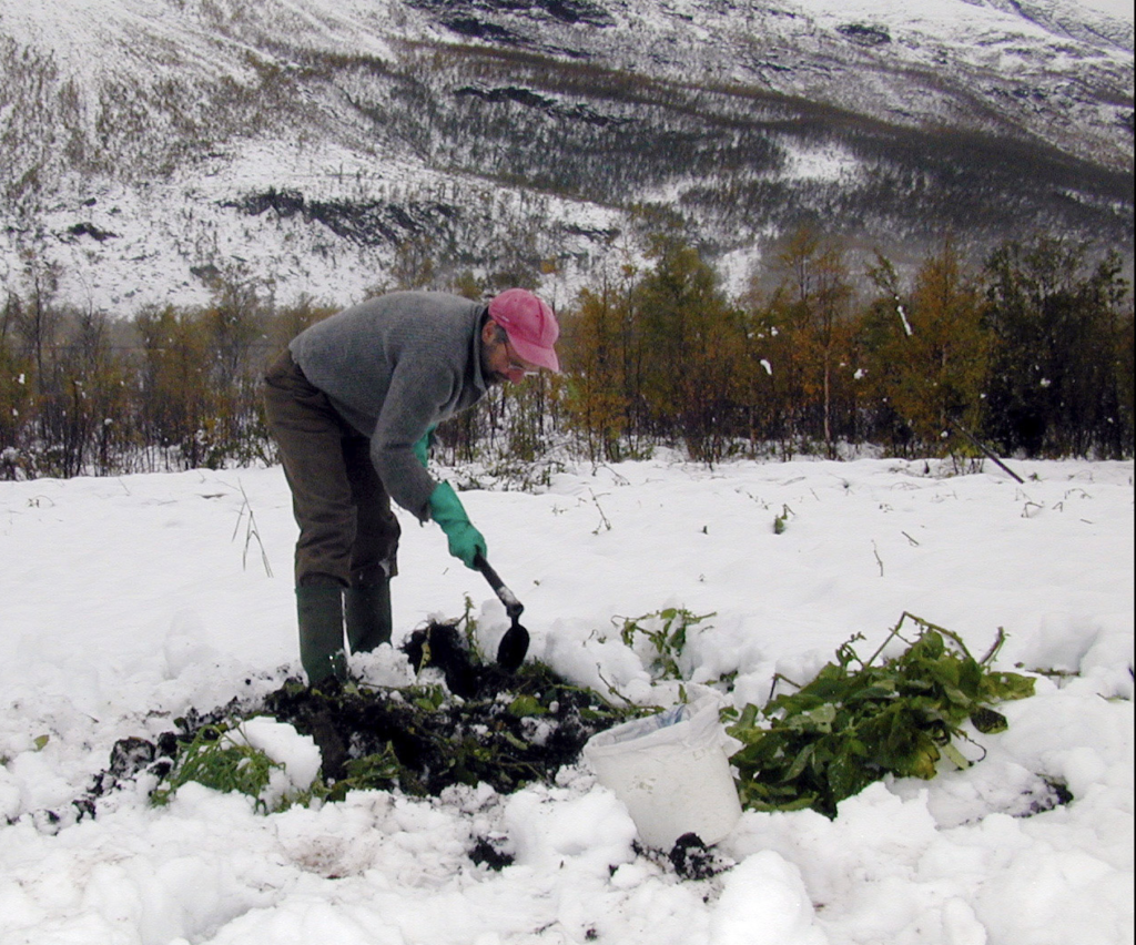Potetene måtte graves fram av snøen.